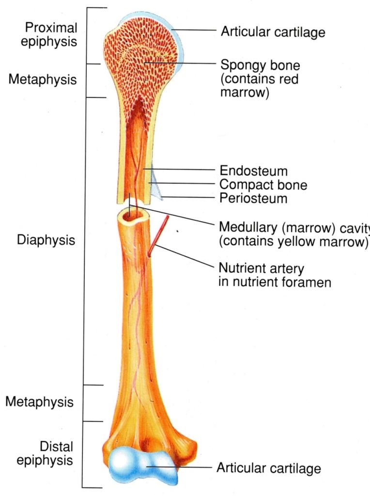 Anatomy Of Long Bones Anatomy Of A Long Bone Fasih Rahman On Prezi