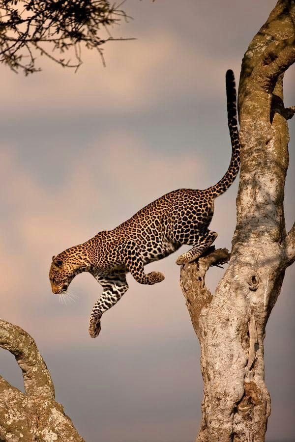 The Leopard jumping to another branch at Serengeti National Park by I Dream of Africa