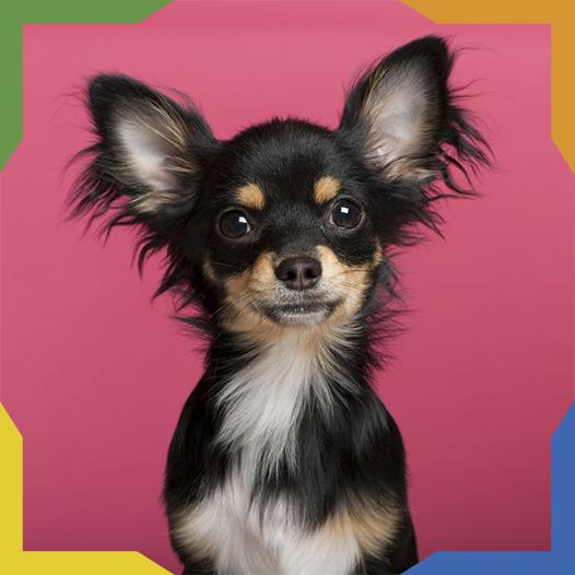 El Chihuahueño o Chihuahua es originario de México y es la raza más pequeña del mundo. Su cuerpo es más largo que alto, tiene grandes orejas, ojos enormes y cola medianamente larga. Hay de pelo corto y pelo largo. Son alegres, carismáticos y amistosos con otros perros. Crean un vínculo muy cercano con su dueño.