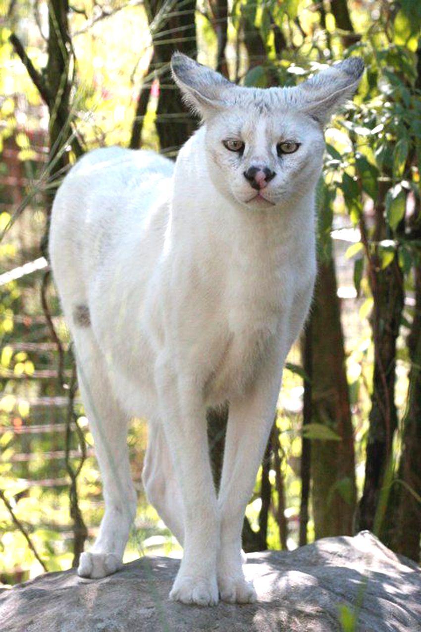 white serval Zvířecí království, Velké kočky