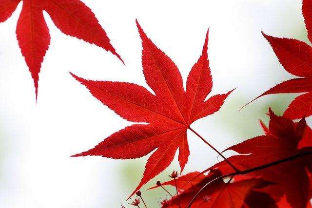 Japanese Maple Leaf Japanese Maple Tree Japanese Red Maple Painted Leaves