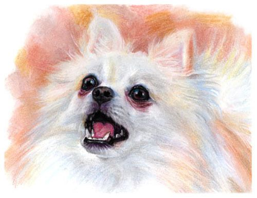 artav Pomeranian 01 Art Print of Original Pastel