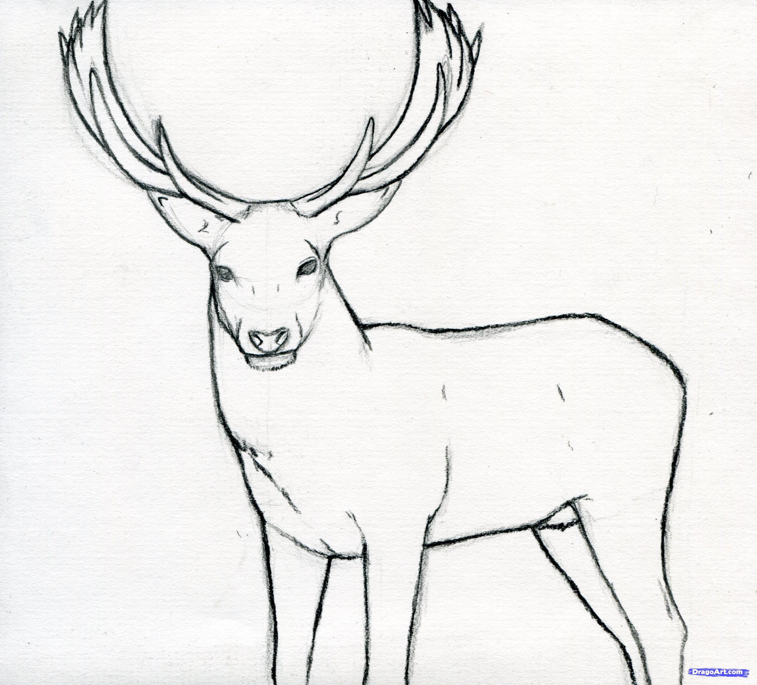 how to draw a stag, deer stag step 11