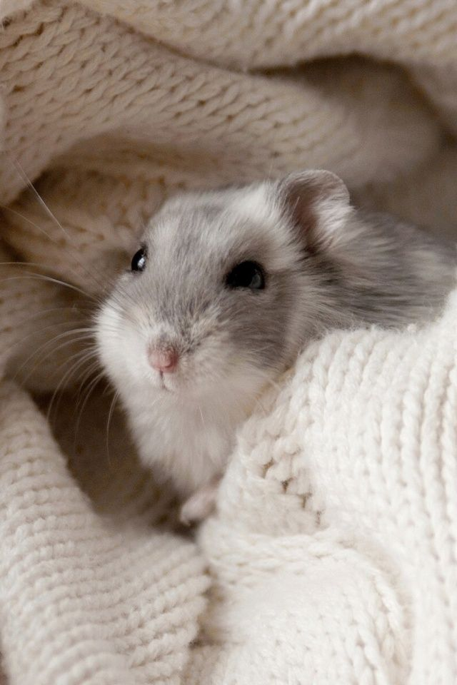 Mouse Mobile Wallpaper Cute Hamsters Cute Baby Animals Hamster Pics