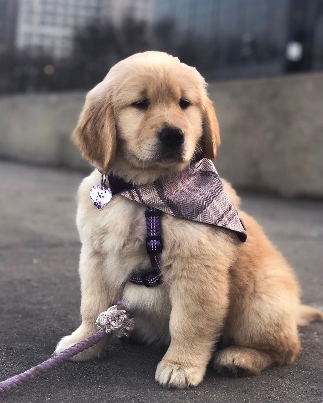 Lila The Golden Retriever On Instagram When You Re Very Seriously Looking Forward To The Weekend Cute Baby Animals Cute Animal Photos Cute Puppy Breeds