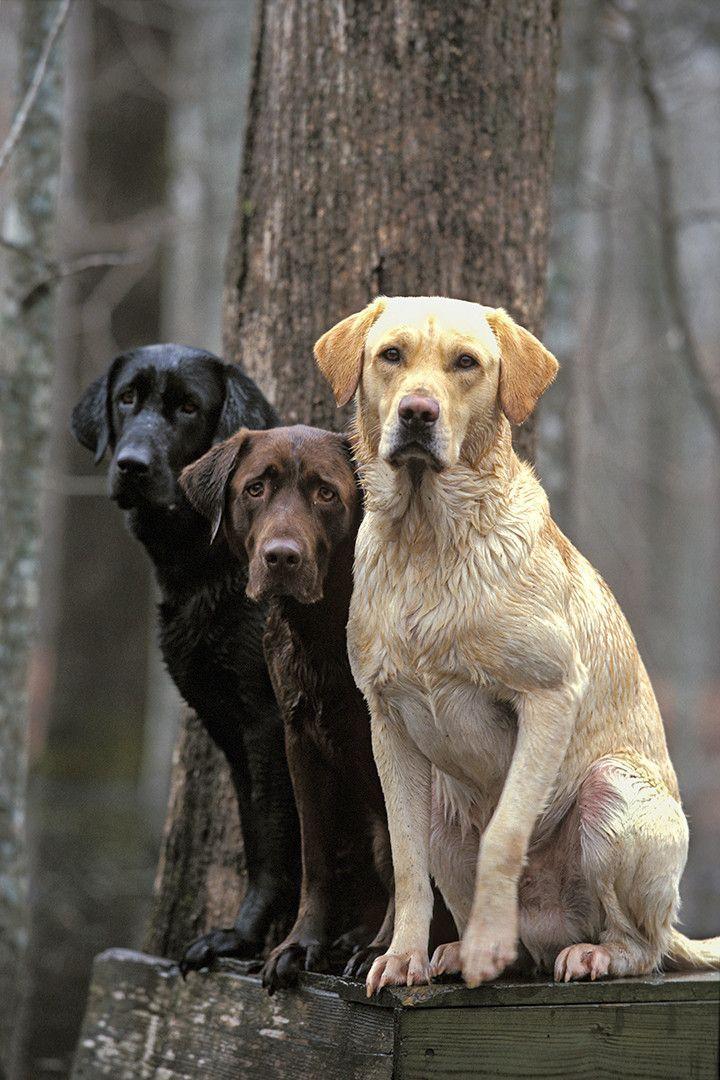Best buddies distinctly montana lab dogs vizsla dogs