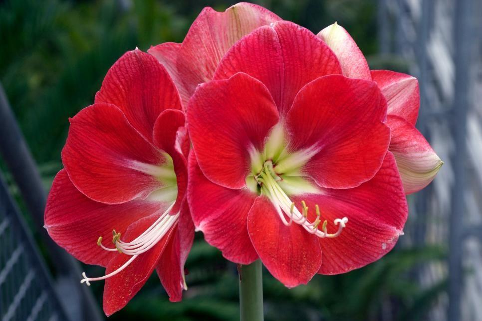 Amaryllis Varieties Amaryllis Flowers Red Amaryllis