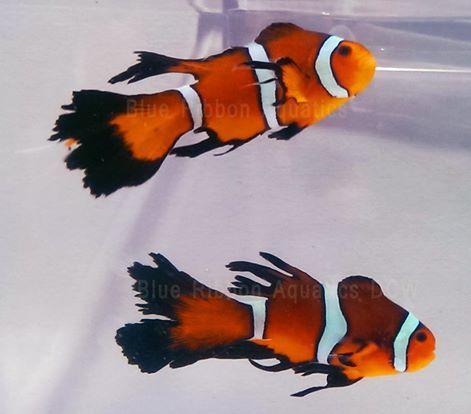 Davinci Clownfish For Sale