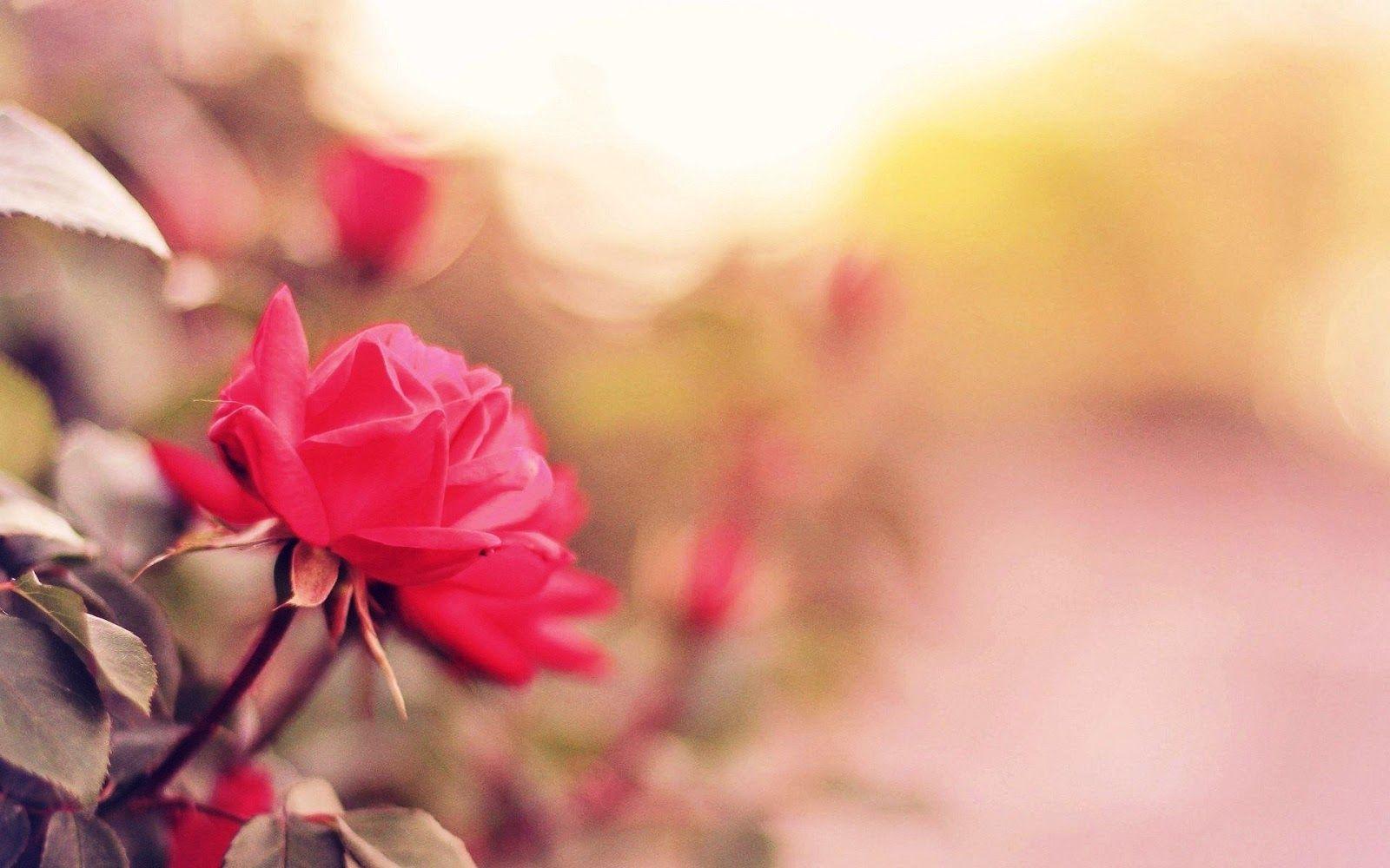 Koleksi Gambar Bunga Mawar Terindah Yang Belum Ada Ketahui Free