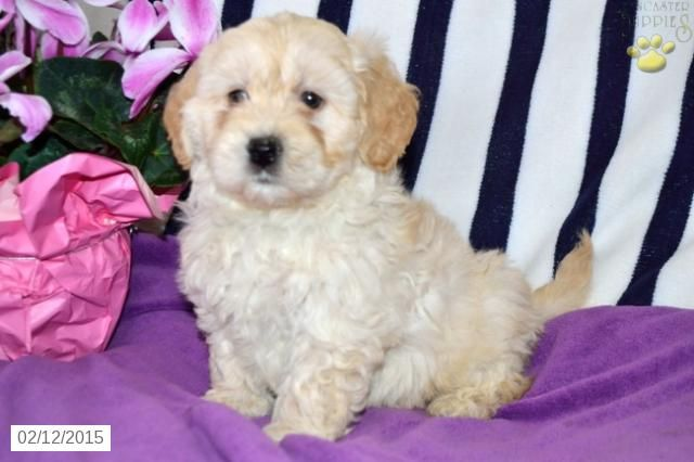 Princess Mini Goldendoodle Puppy For Sale In Elizabethville Pa Mini Goldendoodle Puppies Mini Goldendoodle Goldendoodle Puppy