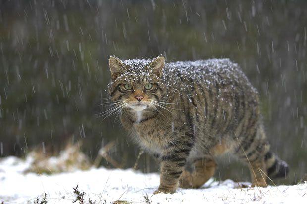 El escurridizo Highland Tiger o Wildcat escocés, en el Parque Nacional Cairngorms, Escocia - fotógrafo de la naturaleza, Peter Cairns.