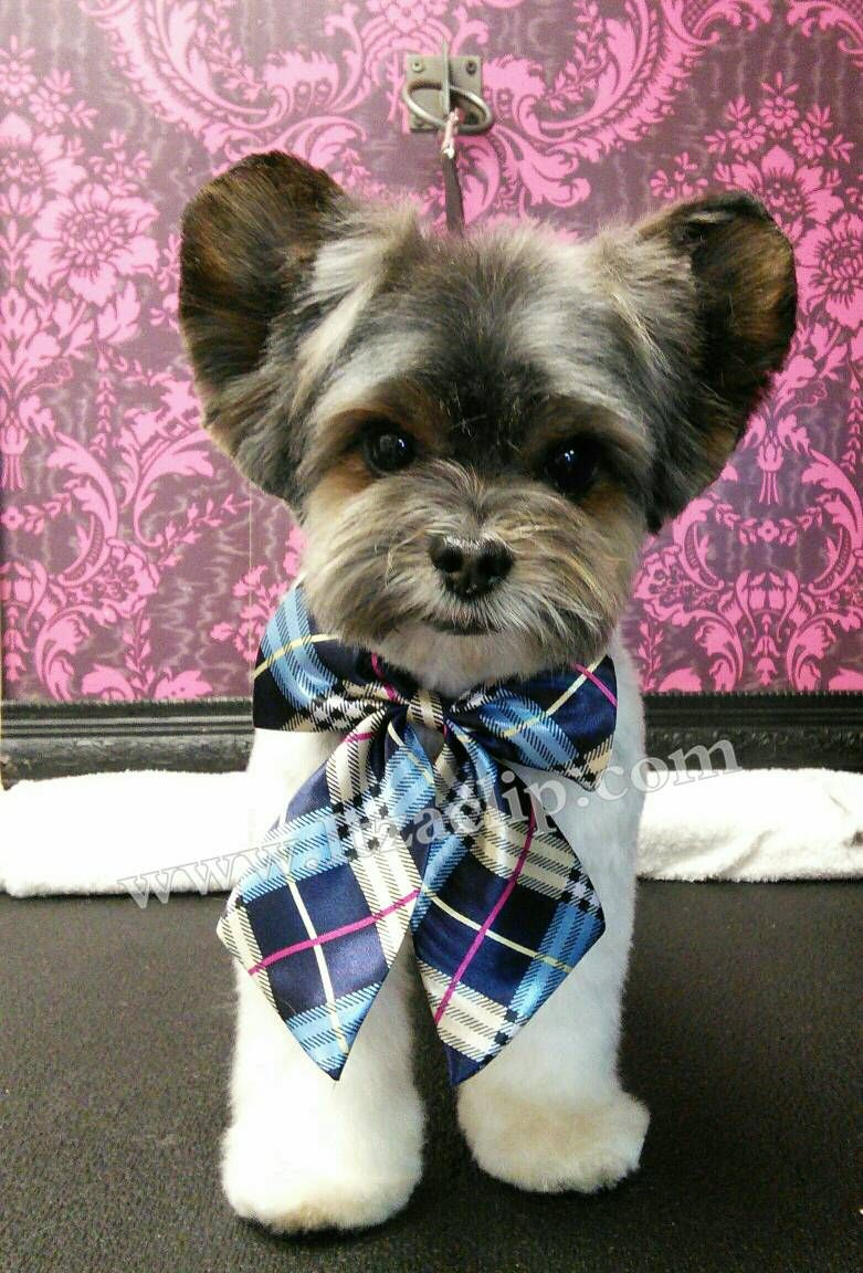 yorkie poo grooming image result for asian style male yorkie grooming dog 3097