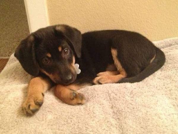 Lab Rot Mix Puppy Male Loves The Kids And Other Animals Also Up For Adoption Is The Husband That Purchased Him Without Tal Cute Puppies Cute Animals