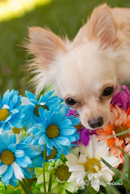 Colorful Flower Chihuahua