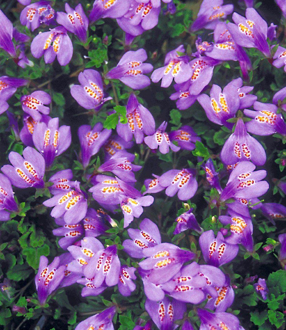 Bodendecker 'mazus Reptans' | Tuin | Pinterest | Tes Bodendecker Schatten Pflanzen