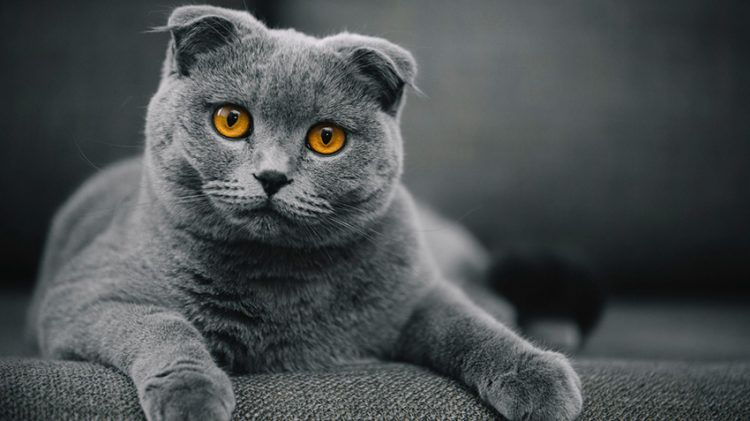 20 Fun Facts You Didn T Know About Scottish Fold Cats Cat Scottish Fold Cute Cat Breeds Scottish Fold