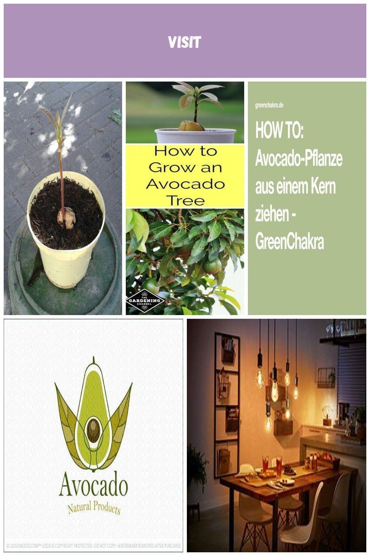 Eine einheimische Avocado-Pflanze.   - Pflanzen rezept salat dessert avocado pflanzen Eine einheimi