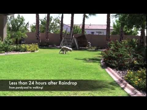 Buddy the Dog Saved by  Young Living Raindrop Therapy