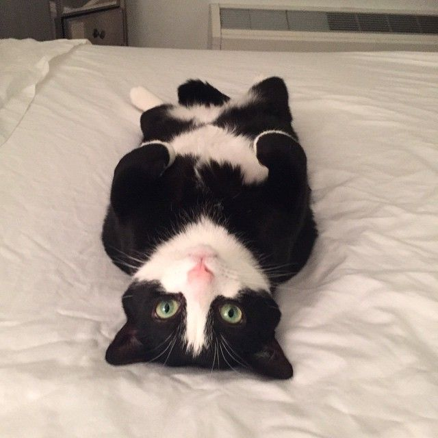 The 25+ best Tuxedo kitten ideas on Pinterest | Black and ...  |Tuxedo Munchkin Cat Kittens