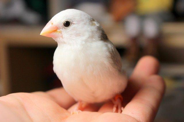 ジュウシマツ 十姉妹 の飼い方 餌 性格 温度 ケージ ヒナ 繁殖 複数飼い 観賞 巣引きについて 古くから ペット 動物 鳥のおもちゃ