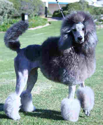 Standard Poodle Cuts | French poodle with fancy pom-poms (Continental cut)