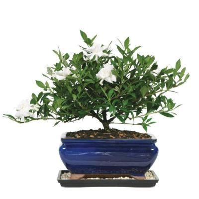 Brussel S Bonsai Gardenia Bonsai Dt 0107g With Images Plants