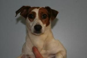 Tabby is an adoptable Jack Russell Terrier (Parson Russell Terrier) Dog in Chillicothe, OH. Tabby is a white/brown, 3 year old Jack Russell mix. Short Coat. Weight: 13 pounds Shelter Vaccinations & Me...