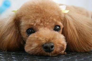 Image Detail For Poodle Forum Standard Poodle Toy Poodle