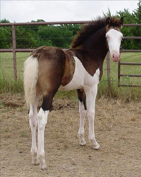 """""""Tiger"""" is actually a fully registered Morgan. He is a """"Splashed White"""" this type of marking is very rare. It creates a very crisp line between the white markings and the horse's base color. Tiger is also a buckskin."""