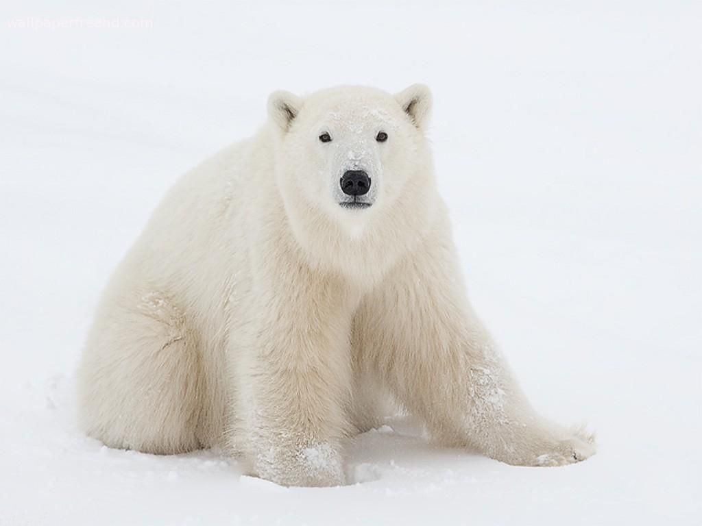 pictures of white polar bears white polar bear wallpaper