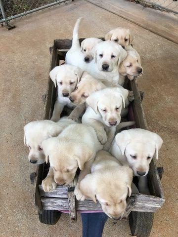 Litter Of 9 Labrador Retriever Puppies For Sale In Forsyth Ga Adn 28513 On Puppyfinder Com Gender Male S And Female S Labrador Retriever Labrador Retriever