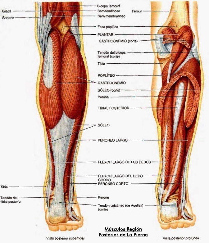 Encantador Anatomía Muscular De La Pierna Ornamento - Imágenes de ...