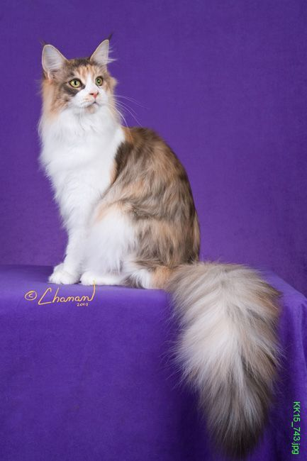 Pin On Baire Coons Maine Coons