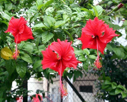 Hibiscus Beautiful Flowers Hibiscus Hibiscus Rosa Sinensis