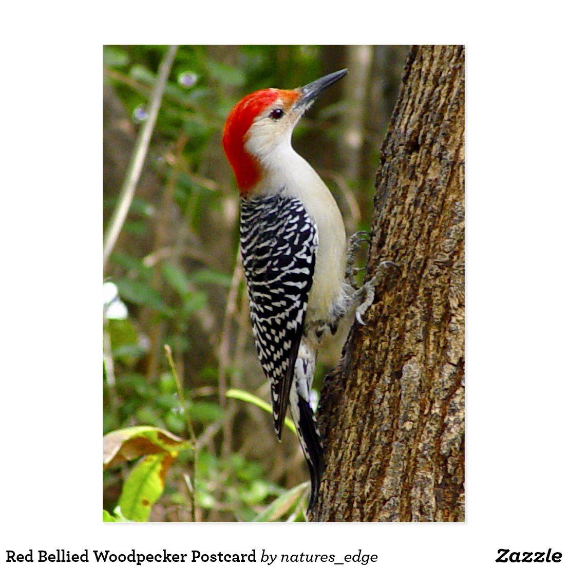 Red Bellied Woodpecker Postcard Birds