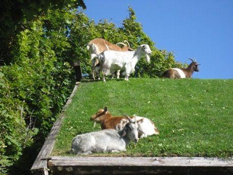 Green Roof Goats