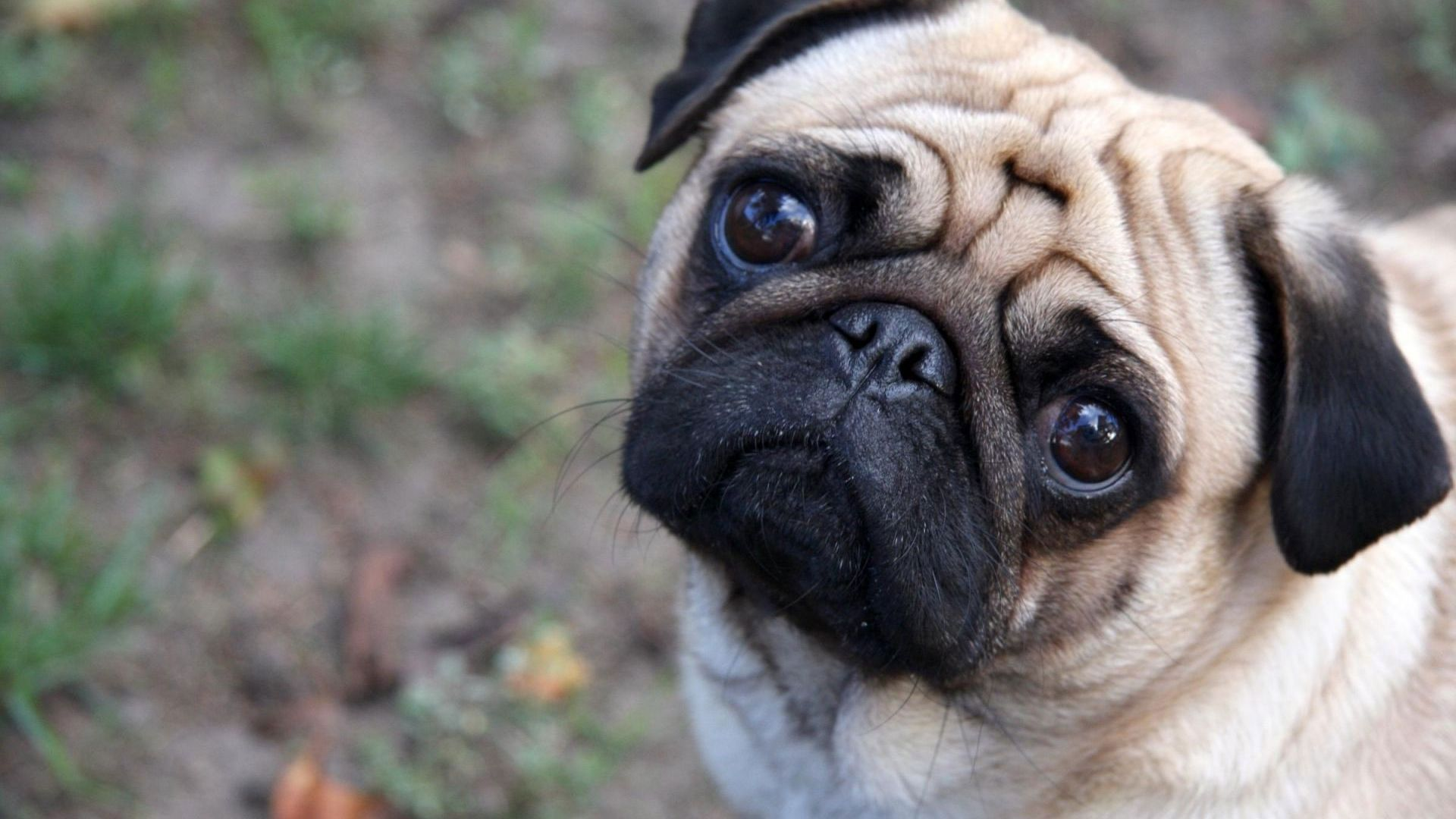hd pics photos best beautiful pug dog attractive face close up hd