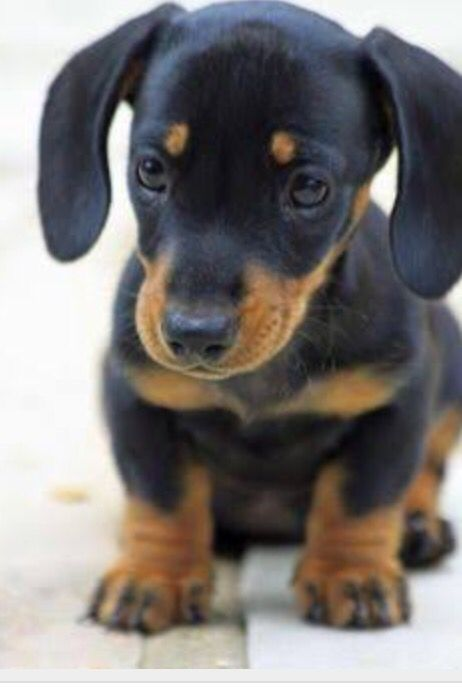 Cuteness Sausage Dog Puppy Cute Animals Cute Dogs