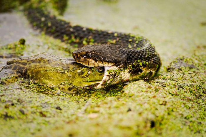 Facts About Water Moccasin Cottonmouth Snakes Cold Blooded