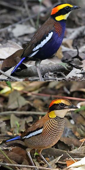 The Thai-Malay Peninsula and Sumatra Banded Pitta have a more orange eyebrow, a blue belly and a chest that is barred orange and dark bluish (more orange towards the sides, blue towards the center). Females are duller than the males.