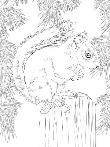 American Red Squirrel Coloring page | Paper Art | Pinterest ...
