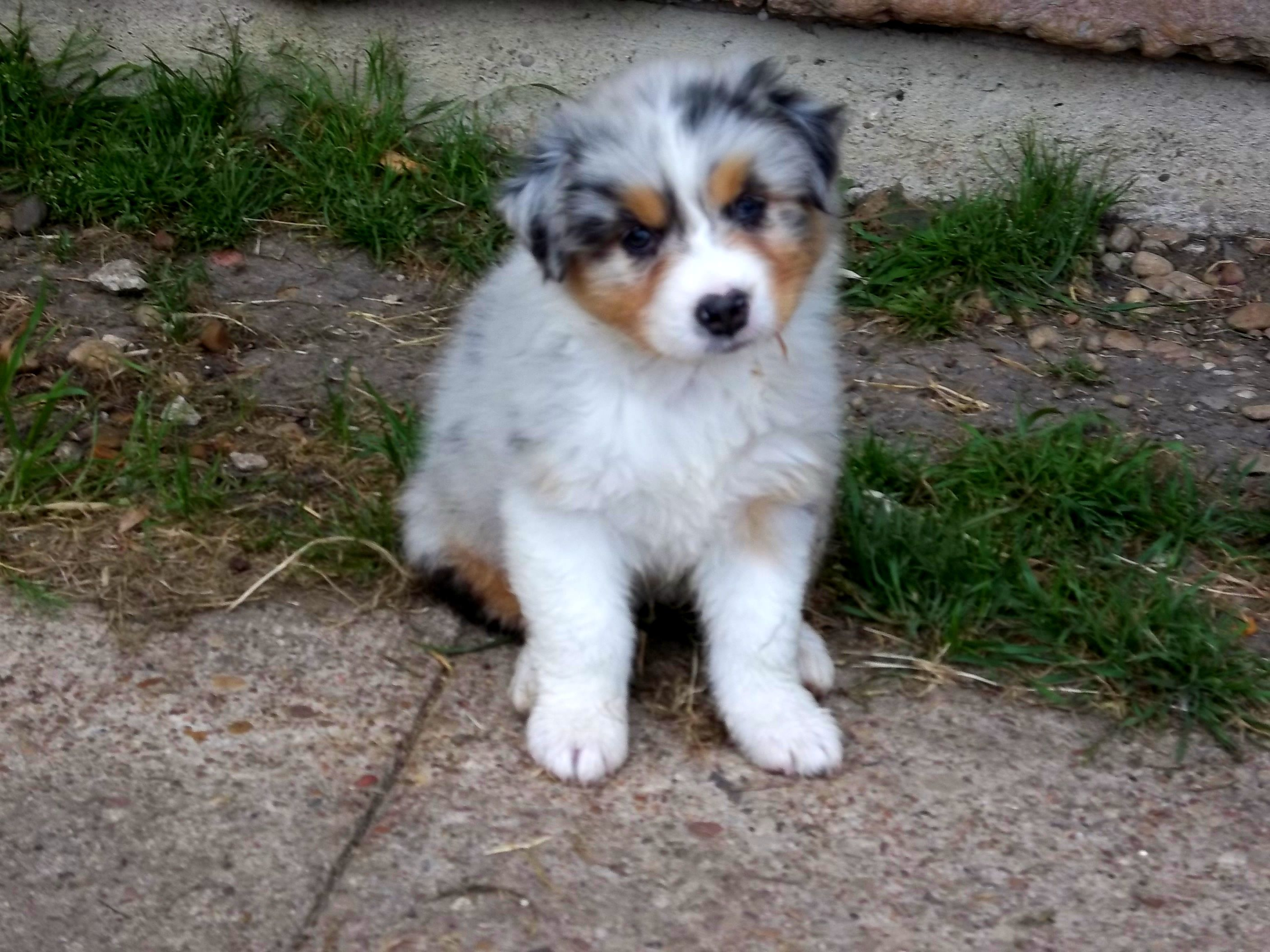 Australian Shepherd Puppies For Sale In Texas Wild Wings