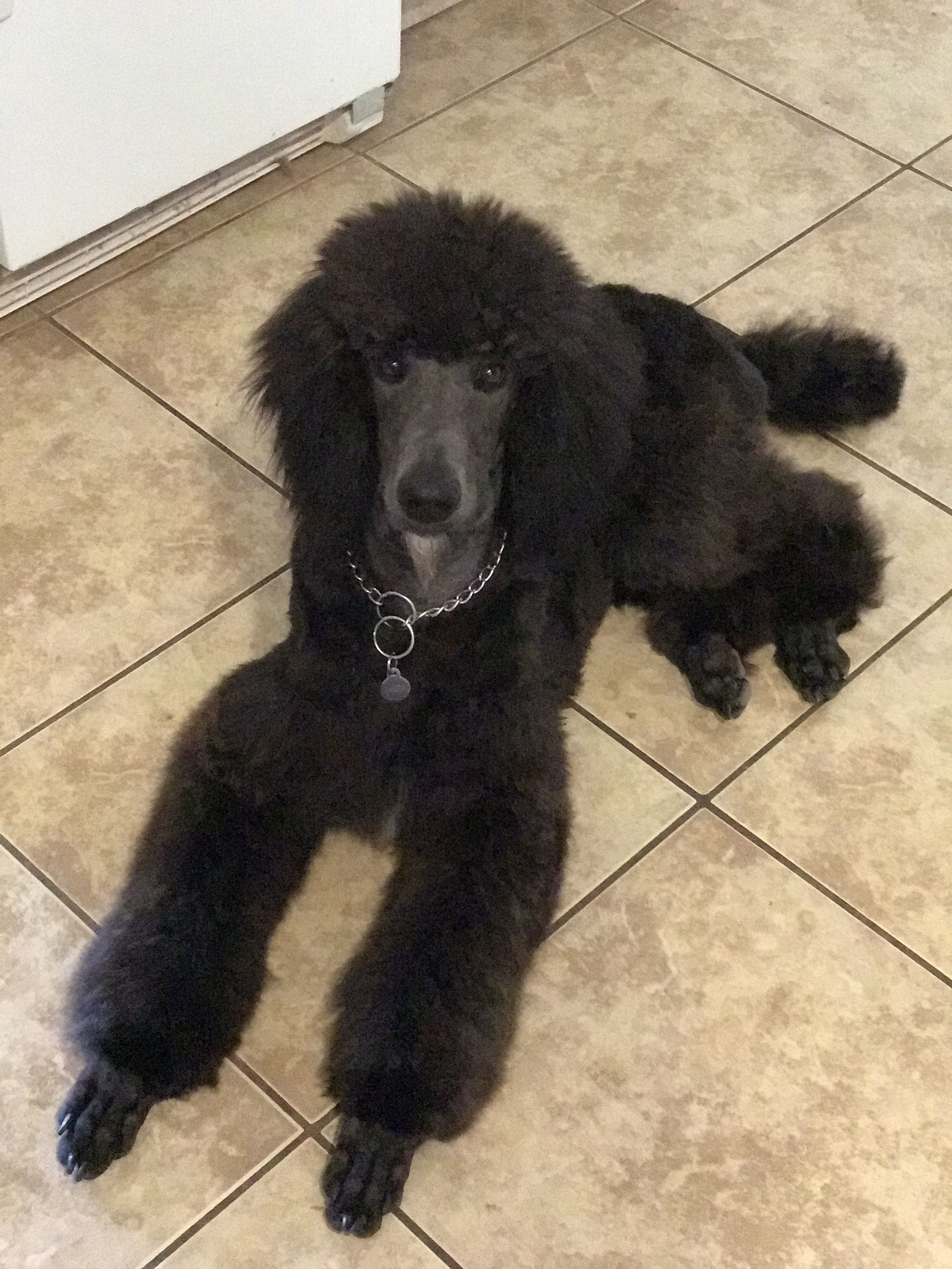 Standard Poodle Puppy Jager Out Of Karma Siggy From Mountain