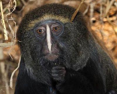 Mono cara de búho (cercopithecus hamlyni)
