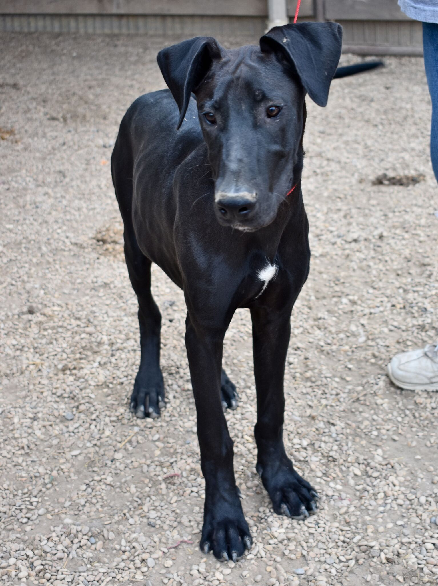 Great Dane Dog For Adoption In Von Ormy Tx Adn 565859 On