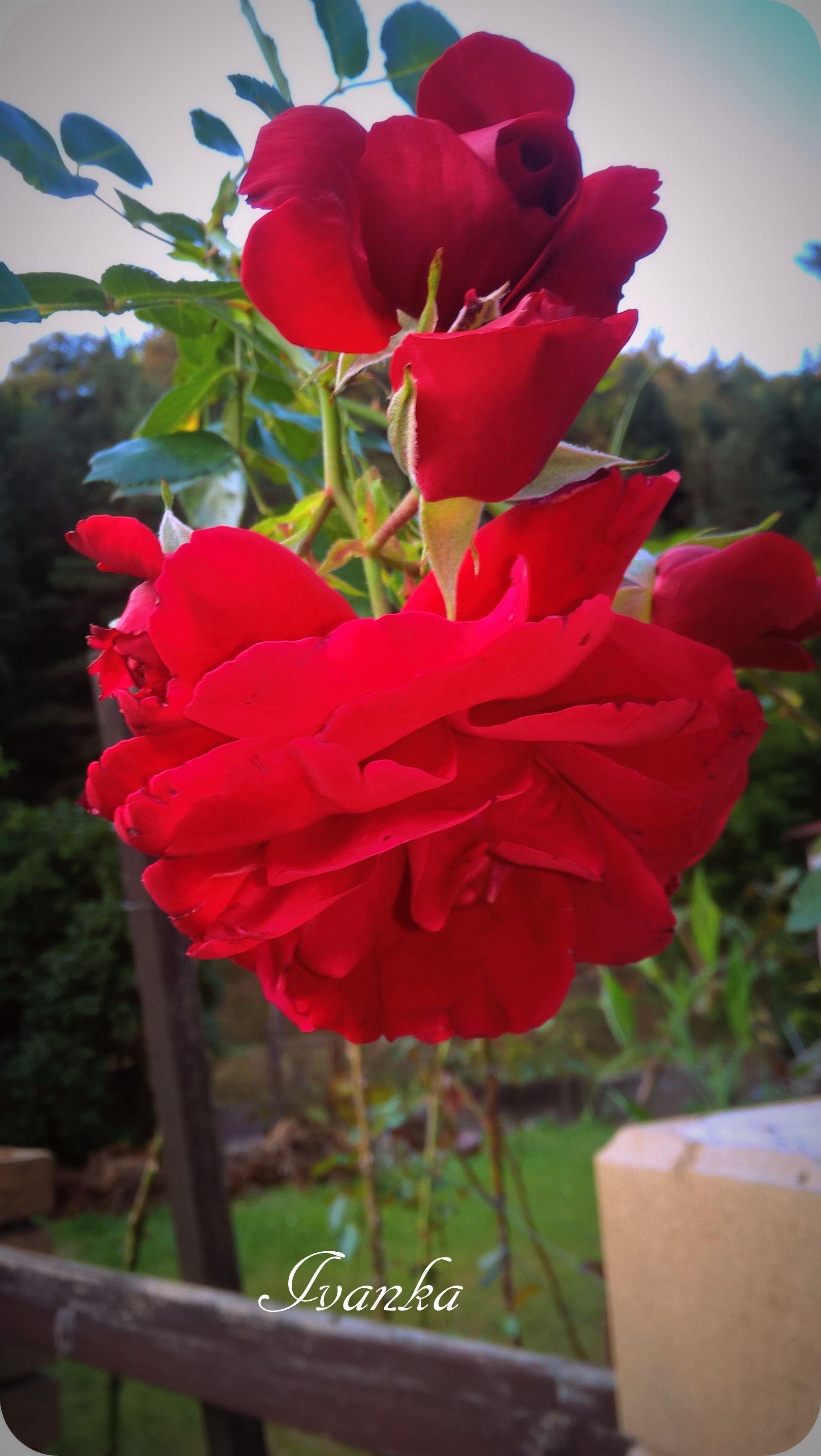 Fantasie - jméno přesně pro tuhle růži