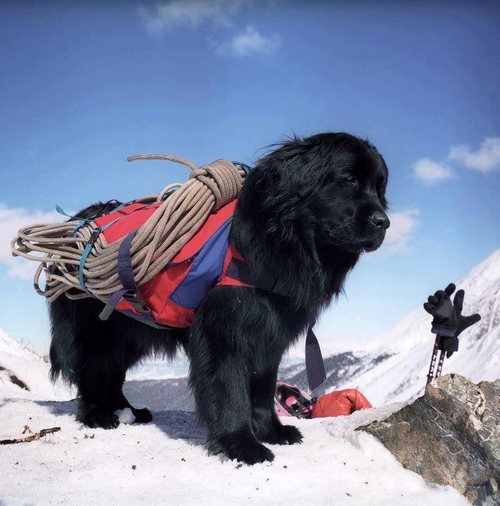 #Newfoundlander in de sneeuw