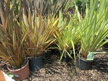 Pornio phornium tenax sol plantas jard n plants y for Planta perenne en maceta de invierno