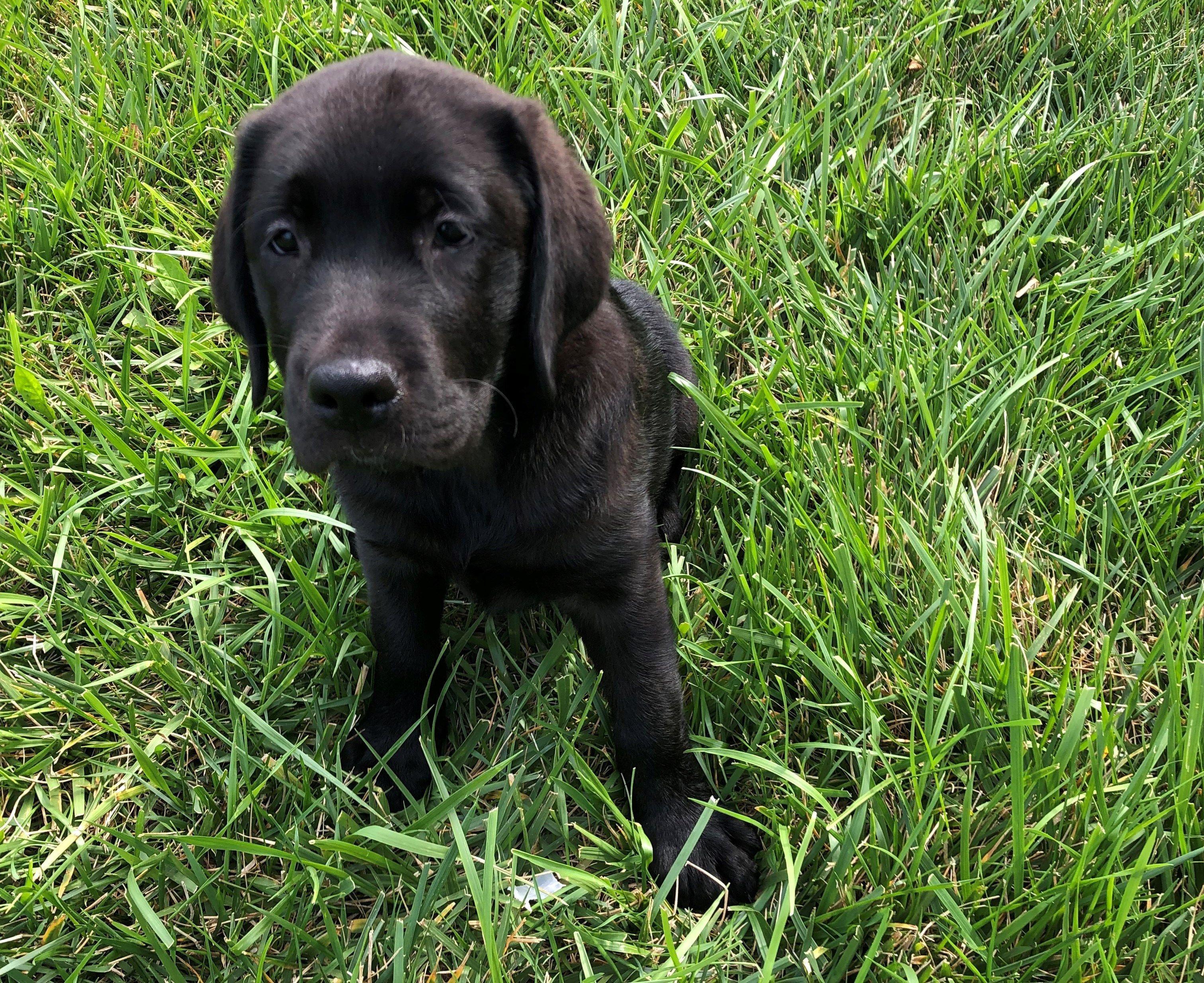 Petland Kansas City Has Labrador Retriever Puppies For Sale Check
