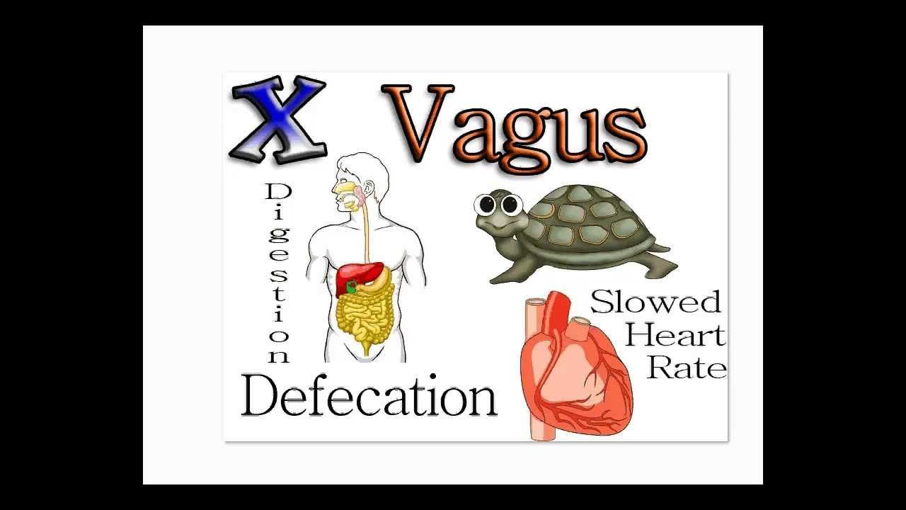 Gambling On Vagus 3 Easy Steps To Aid Slow Digestion In